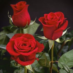 freedom red roses, rosas rojas freedom